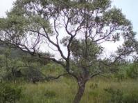 Ozoroa paniculosa tree