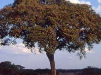 Parinari curatellifolia tree