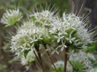 Pvetta schumanniana:Image Geoff Nichols