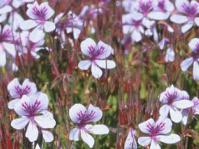 Pelargonium betulinum