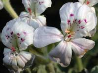 Pelargonium crassicaule flowers