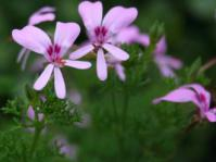 Pelargonium fruticosum flowers and foliage