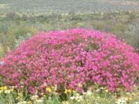 Pelargonium magenteum in habitat