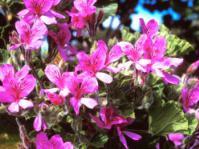 Pelargoinium cucullatum