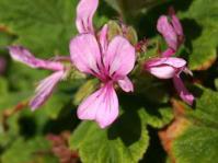 Pelargonium panduriforme flower