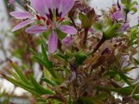 Pelargonium scabrum