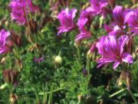Pelargonium suburbanum subsp. suburbanum