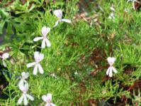 Pelargonium ternatum flowers & foliage