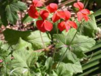 Pelargonium tongaense