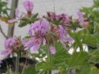 Pelargonium vitifolium shrub