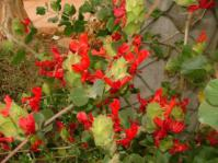 Petalidium bracteatum in conservatory at Kirstenbosch