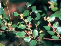 Phyllanthus reticulatus foliage