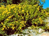 Image of P. acerosum in habitat