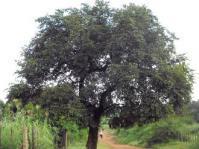 PiIiostigma thonningii tree