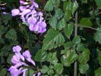 Plectranthus saccatus
