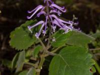 Plectranthus reflexus