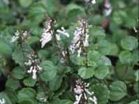 Plectranthus verticillatus groundcover