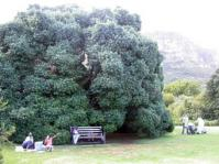 Large tree at Kirstenbosch