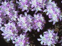 Lachenalia corymbosa