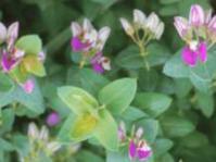 P.fruticosa 'Southern Shores'