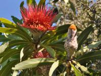 Protea laetans flowerhead and bud
