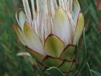 Protea lanceolata flower head