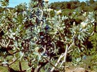 Protea nitida in cultivation