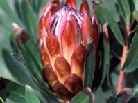 Protea susannae