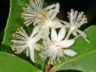 Pseudoscolopia polyantha.  Image A E van Wyk