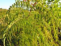 Pterolobium stellatum shrub