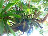 Pyrrosia africana