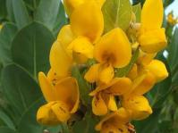 Rafnia triflora flowers
