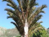 Image of Raphia tree