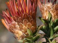 Relhania speciosa flower heads