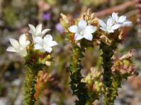 Roella amplexicaulis