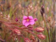 Flower of Roridula dentata