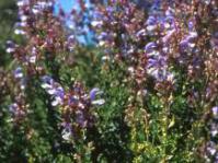 Salvia chamelaeagnea
