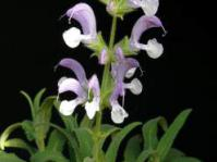 Salvia disermas shrub