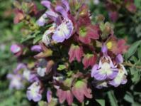 Flowers of Salvia dolomitica