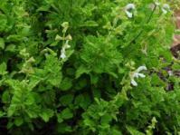 Salvia garipensis shrub