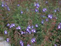 Salvia muirii