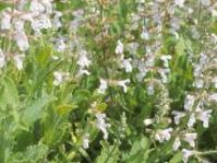 Salvia repens