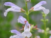 Salvia schlechteri