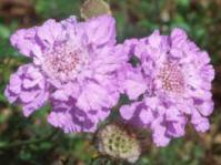 Scabious incisa