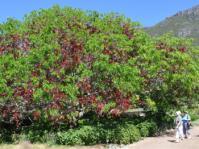 Schotia brachypetala in Kirstenbosch NBG.
