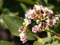Schrebera alata flowers