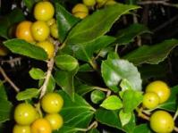 Fruits and leaves of Scolopia mundi