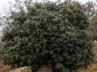 S. magalismontana subsp. magalismontana bush Photo: Linette Ferreira