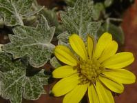 Senecio hederiformis flower and leaves