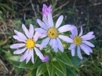 Senecio speciosissimus flowers